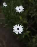 Helles weißes Gänseblümchen auf einem dunkelgrünen Hintergrund Lizenzfreie Stockfotografie