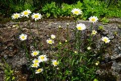 Helles weißes Gänseblümchen blüht das Blühen mit dem gelben Blütenstaub und Grün verlässt auf dem Felsen am Sonnenscheintag Stockfoto
