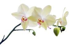 Hellgelb in den rosa Streifenorchideenblumen Lizenzfreie Stockfotos