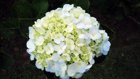 Hellgelb mit weißer Blume Lizenzfreies Stockbild