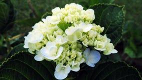 Hellgelb mit weißer Blume Lizenzfreies Stockfoto