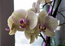 Hellgelbe Orchidee auf einem Fensterbrett Stockbilder