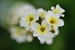 Hellgelbes gemustertes Gras Sisyrinchium striatum Lizenzfreie Stockfotos
