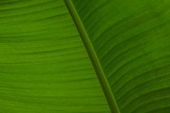 Hellgrüne Bananenblattnahaufnahme Lizenzfreies Stockbild