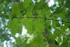 Hellgrüne Blätter Stockbild