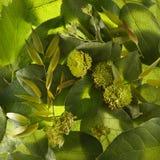 Hellgrüne Blätter Stockfoto