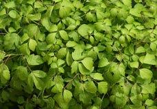 Hellgrüne Blätter stockfotografie