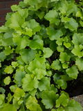 Hellgrüne Blätter Lizenzfreies Stockbild