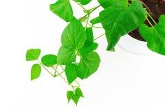 Hellgrüne Blätter auf Weiß Stockfoto
