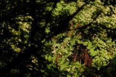 Hellgrüne Blätter eines wilden Baums nach dem Regen Stockbilder