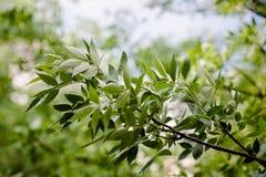 Hellgrüne Blätter eines wilden Baums nach dem Regen Lizenzfreie Stockfotos