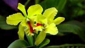 Hellgrüne cattleya Orchideen Lizenzfreies Stockfoto