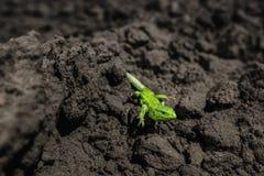 Hellgrüne Eidechsennahaufnahme auf dem Boden stockfoto