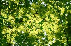 Hellgrüne Federblätter des Ahorns Stockfotografie
