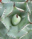 Hellgrüne Kaktus-Nahaufnahme mit den roten Dornen Stockbild