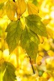 Hellgrüne und gelbe Blätter von Acer Lizenzfreies Stockbild
