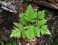 Hellgrüne Wedel eines Adlerfarnfarns, der in einem Wald wächst Lizenzfreie Stockfotografie