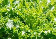 Hellgrüne Winterendivie Stockbild