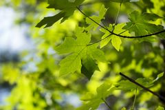 Hellgrüner bigleaf Ahorn Acer-macrophyllum Blatthintergrund stockbilder