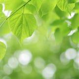 Hellgrüner Lindenbaum und unscharfer Hintergrund Stockfotografie