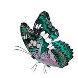 Hellgrüner Schmetterling des schönen Fliegens, gemeiner Kommandant (moduza procris) mit ausgedehnten Flügeln im fantastischen Far stockbild
