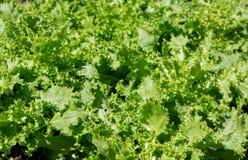 Hellgrüner Winterendiviensalat Stockfoto