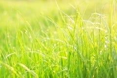 Hellgrünes üppiges Gras Stockfotos