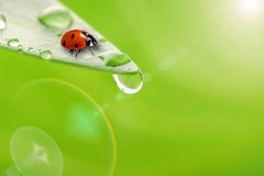 Hellgrünes Blatt mit Marienkäfer- und Wassertropfen Lizenzfreies Stockfoto