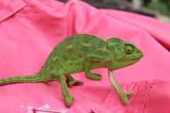 Hellgrünes Chamäleon auf dem rosa (rot) Lizenzfreies Stockfoto
