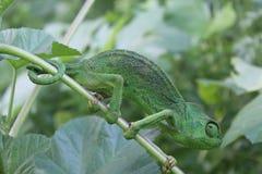 Hellgrünes Chamäleon auf einer Niederlassung Lizenzfreie Stockfotos
