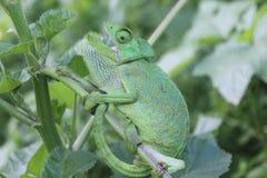 Hellgrünes Chamäleon mit offenem Mund auf einer Niederlassung Stockfotos