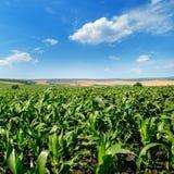 Hellgrünes Getreidefeld und blauer Himmel mit hellen Kumuluswolken Stockbild