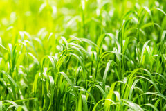 Hellgrünes Gras auf Frühlingsfeld am sonnigen Tag Stockbild