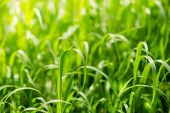 Hellgrünes Gras auf Sommerfeld am sonnigen Tag Stockfotografie