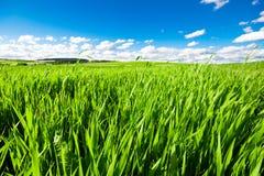 Hellgrünes Gras unter einem blauen bewölkten Himmel stockfotos
