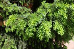 Hellgrünes Laub der Fichte stockbilder