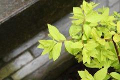 Hellgrünes Laub mit Tau gegen Steinjobsteps Stockbilder