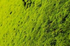 Hellgrünes Moos auf dem Felsen im selektiven Fokus Lizenzfreies Stockfoto
