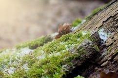 Hellgrünes Moos n ein Stumpf im Winterwaldwinter-Saisonhintergrund stockfotos