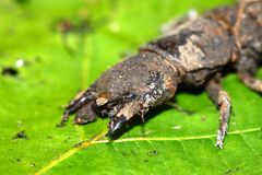 Hellgrammite - Dobsonfly larvae Stock Photo