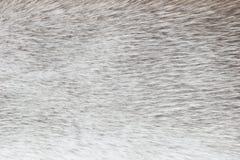 Hellgrauer polarer Fuchspelzhintergrund (Beschaffenheit) lizenzfreie stockfotos