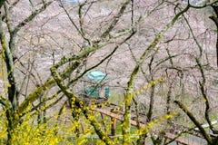 Hellingsauto die de tunnel van de kersenbloesem overgaan bij Funaoka-het Park van de Kasteelruïne, Shibata, Miyagi, Tohoku, Japan Stock Afbeeldingen