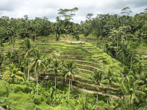 Hellingspadievelden op Bali Royalty-vrije Stock Foto