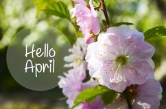 Hello April.Branch of cherry blossom on a blurred green background.Sakura spring flowers. stock photos