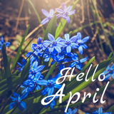 Hello April greeting card with blue first flowers Stock Image