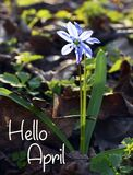 Hello April greeting card with blue first spring flower.Blue Scilla flower Scilla siberica,Squill in the forest. Stock Photos