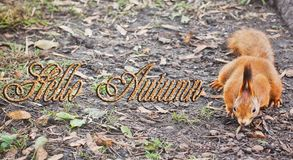 Hello Autumn. Forest squirrel. Red Squirrel. Squirrel. Autumn. Winter. Forest royalty free stock photography