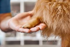 Hello, buddy! Hand of a veterinarian holding dog`s paw at the veterinary clinic. Pet care concept. Medicine concept. Animal hospital royalty free stock photos