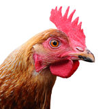 Hello Chicken Royalty Free Stock Photography
