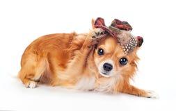 Hello Chihuahua Stock Image